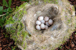 Nest with eggs Stock Image