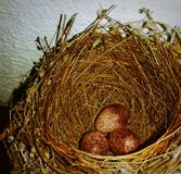 Nest eggs. Brown eggs in nest royalty free stock photography