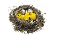 Nest, with eggs and chicken Royalty Free Stock Images
