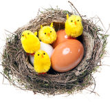 Nest with eggs and chickens Royalty Free Stock Images