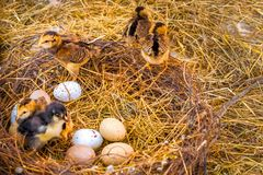 Nest with eggs and Chicks stock photos