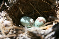 Nest and eggs. Mocking Bird nest with eggs Royalty Free Stock Photography
