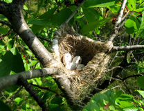 Nest with eggs on a tree Royalty Free Stock Images