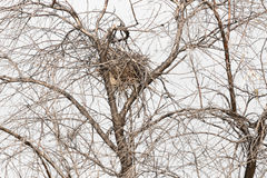 Nest in einem Baum mit bloßen Niederlassungen Stockbild