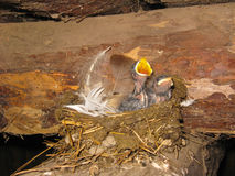 Nest einer Schwalbe mit Nestlingen Stockfotos