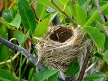Nest eines Rotschulterstärlings (Agelaius phoeniceus) Stockfoto