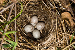 Nest (Emberiza citrinella, Yellowhammer) Stock Photography