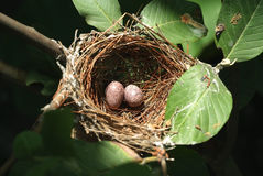 Nest en eieren 4 Stock Foto's