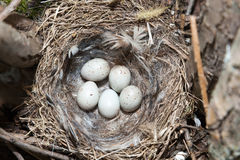 Nest of European Greenfinch (Carduelis chloris) Royalty Free Stock Photography