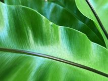 Macro photography of Nest fern leaves royalty free stock image