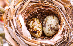 A nest filled with bird eggs. Royalty Free Stock Image