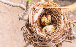 A nest filled with bird eggs Royalty Free Stock Images