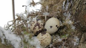 A nest filled with three bird eggs in the branches of a tree. Winter. A nest filled with three left frozen bird eggs in the branches of a tree in the winter stock video footage