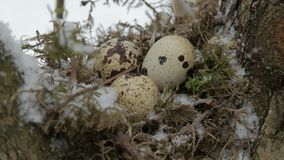 A nest filled with three bird eggs in the branches of a tree. Winter. A nest filled with three left frozen bird eggs in the branches of a tree in the winter stock footage
