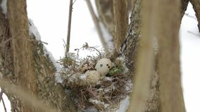 A nest filled with three bird eggs in the branches of a tree. Winter. A nest filled with three left frozen bird eggs in the branches of a tree in the winter stock video