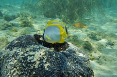 Nest of fish Spotfin Butterflyfish in a sponge Royalty Free Stock Image