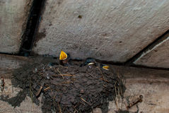 Nest with five swallow. Stock Photos