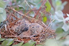 A nest of Fledgling Zebra Doves Royalty Free Stock Photography