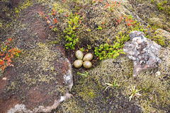 The nest with four eggs in Iceland Royalty Free Stock Image
