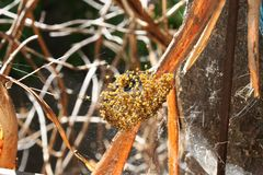 Nest of freshly-hatched Orb-Spiders Royalty Free Stock Images