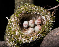 Nest. Fringilla coelebs, Chaffinch Stock Photo