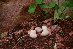 A Nest Full of Duck Eggs Stock Images