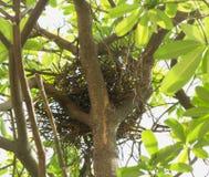 Nest gemacht von den kleinen trockenen Zweigen auf einem Baum im natürlichen Lebensraum Stockbild