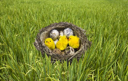 Nest,from grass with eggs and chicken Stock Photos
