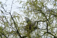 Nest of a gray heron on a tree. royalty free stock photo