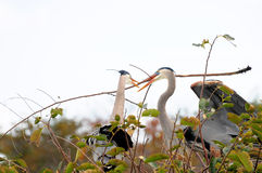 Nest of Great Blue Herons Royalty Free Stock Image