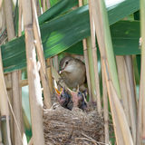 Nest. Great Reed Warbler (Acrocephalus arundinaceus). Royalty Free Stock Image