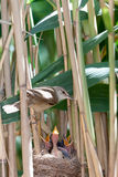 Nest. Great Reed Warbler (Acrocephalus arundinaceus). Stock Photography