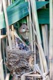 Nest. Great Reed Warbler (Acrocephalus arundinaceus). Stock Images