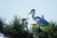 Nest of Grey Heron Royalty Free Stock Images