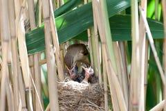 Nest großer Reed Warbler (Acrocephalus arundinaceus) Lizenzfreies Stockbild