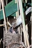 Nest großer Reed Warbler (Acrocephalus arundinaceus) Stockbild