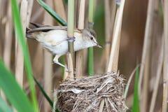 Nest großer Reed Warbler (Acrocephalus arundinaceus) Stockbilder