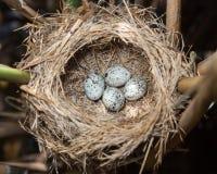 Nest großer Reed Warbler (Acrocephalus arundinaceus) Lizenzfreie Stockbilder