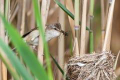 Nest großer Reed Warbler (Acrocephalus arundinaceus) Lizenzfreies Stockfoto