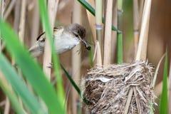 Nest großer Reed Warbler (Acrocephalus arundinaceus) Lizenzfreie Stockfotografie