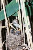 Nest großer Reed Warbler (Acrocephalus arundinaceus) Lizenzfreie Stockfotos