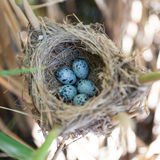 Nest großer Reed Warbler (Acrocephalus arundinaceus) Stockfotografie