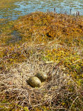 Nest of gull Stock Photography