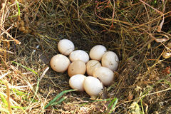 Nest of hen with ten eggs Royalty Free Stock Image