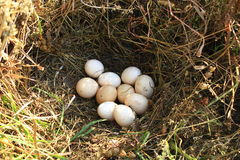 Nest of the hen with ten eggs Royalty Free Stock Photography