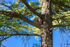 Nest of hornero on the branches of green pine royalty free stock photography