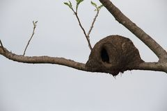 Nest of hornero Stock Photo
