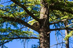 Nest of hornero on the branches of green pine stock images