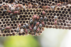 Nest of Hornet Stock Photo