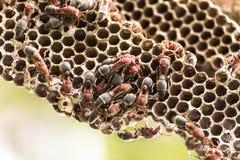 Nest of Hornet Royalty Free Stock Image